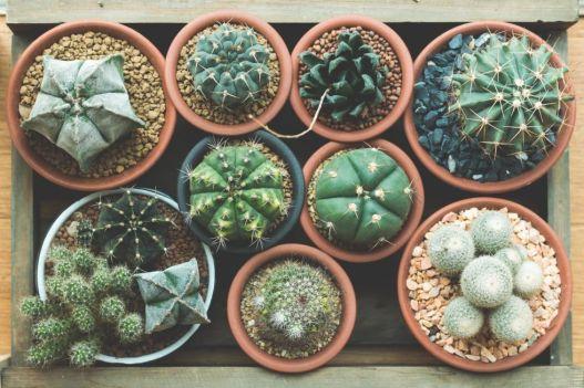 gallery-1461102582-succulent-cactus-debate